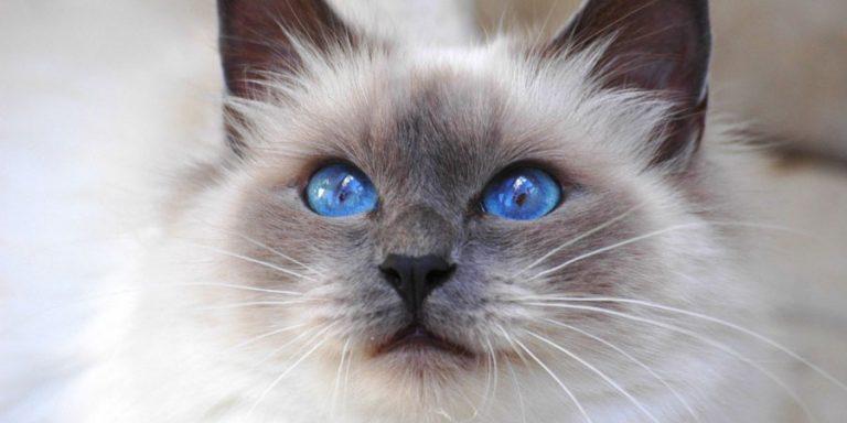 Сеамский кот  № 171553 бесплатно